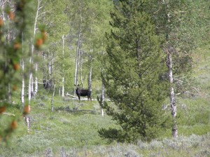 Moose, Grand Teton National Park